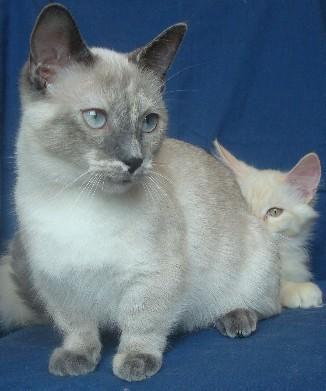 Munchkin kitten, 7 months old