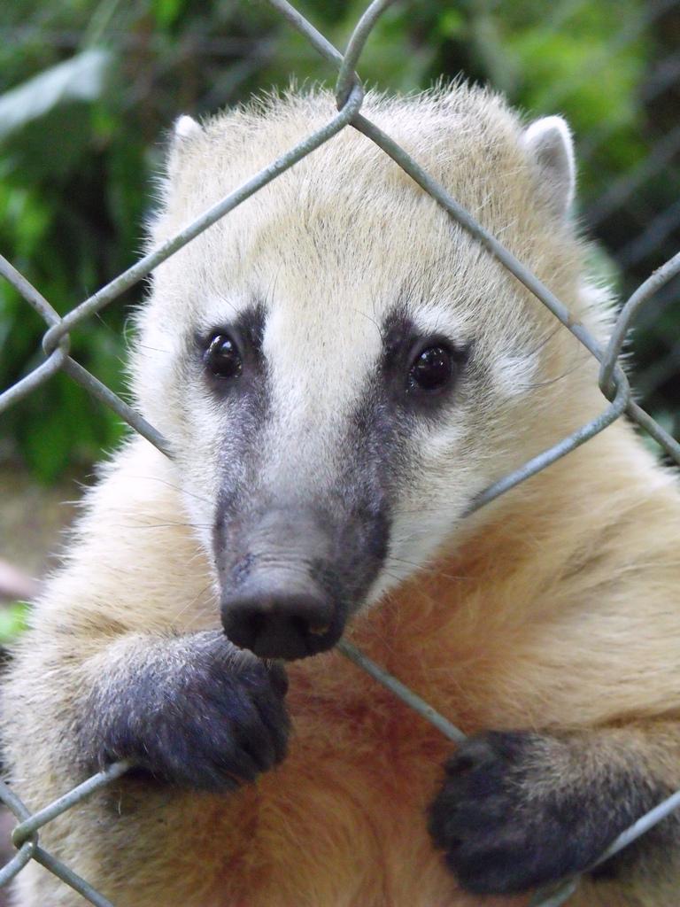 Nasua nasua -Dartmoor Zoo, Plymouth, Devon, England-8