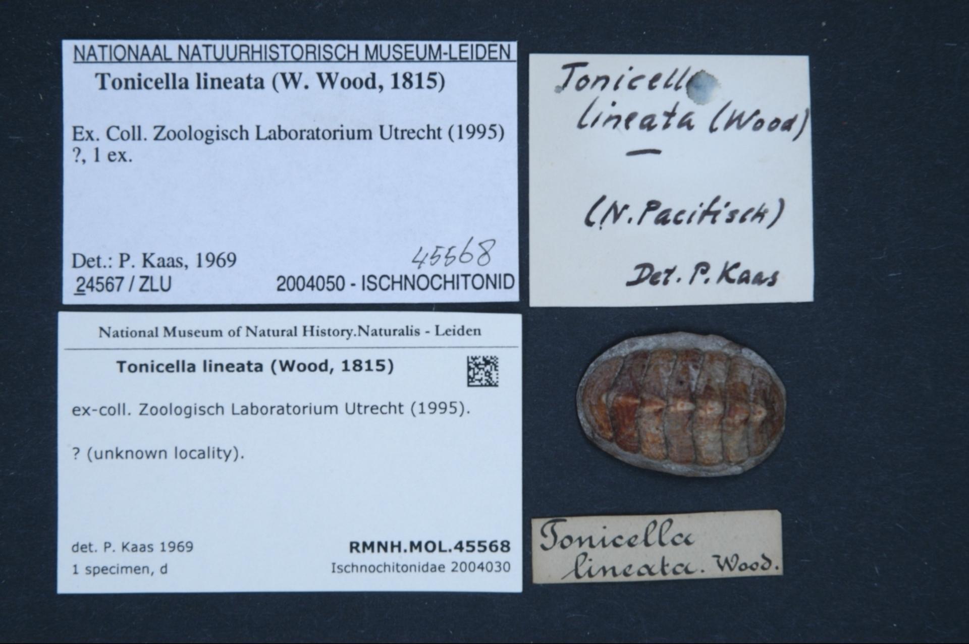 Naturalis_Biodiversity_Center_-_RMNH.MOL.45568_-_Tonicella_lineata_%28Wood%2C_1815%29_-_Ischnochitonidae_-_Mollusc_shell.jpeg