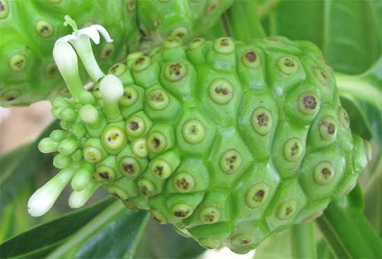 Noni fruit juice extract