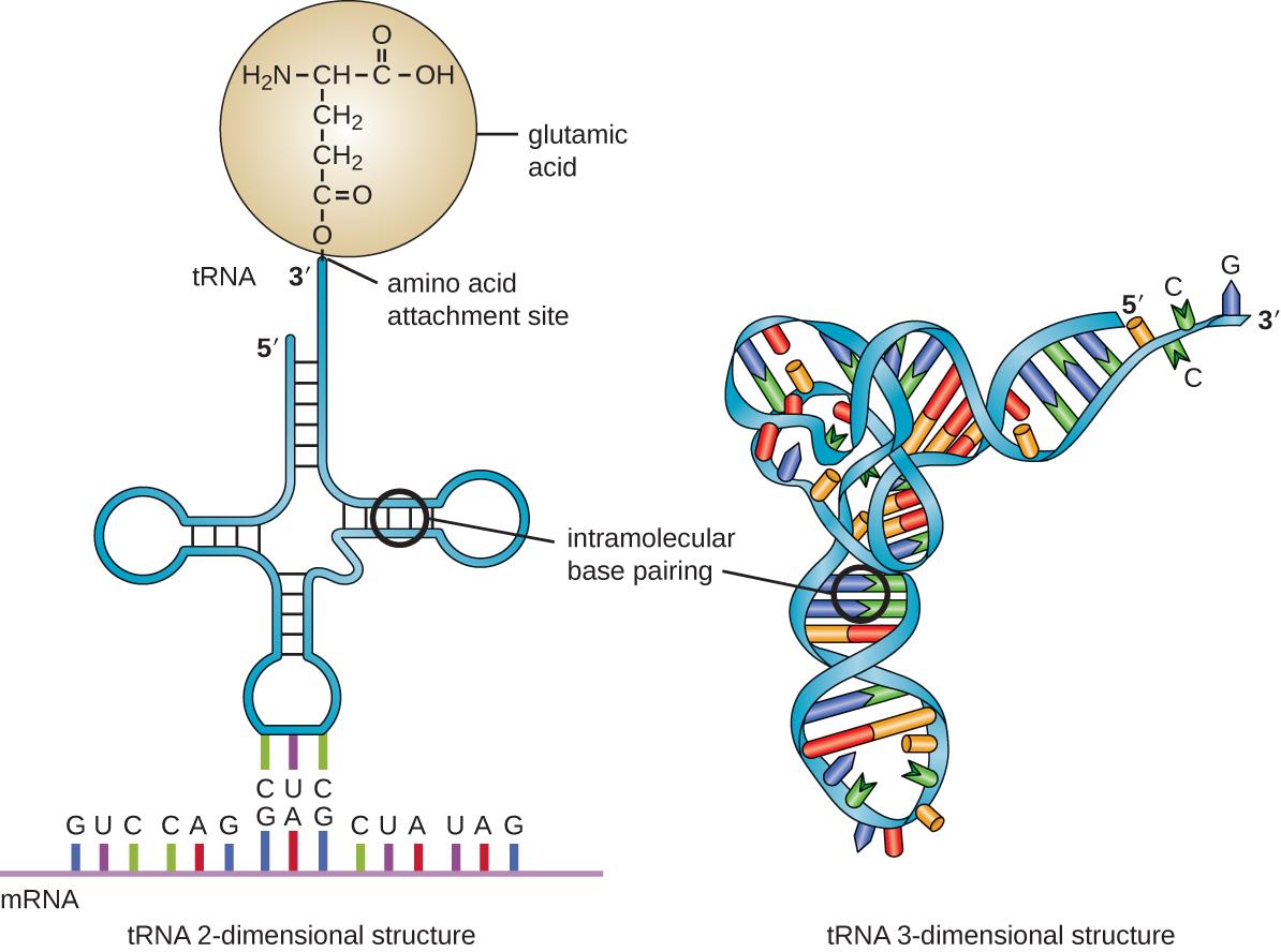 https://upload.wikimedia.org/wikipedia/commons/2/28/OSC_Microbio_10_03_tRNA.jpg