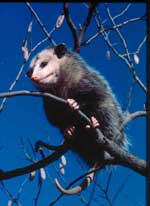 File:Opossom in tree.jpg