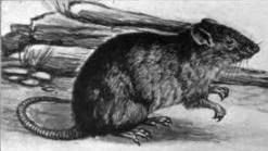 Drawing of Oryzomys molestus, now a synonym of Oryzomys albiventer Oryzomys molestus Eliot.jpg
