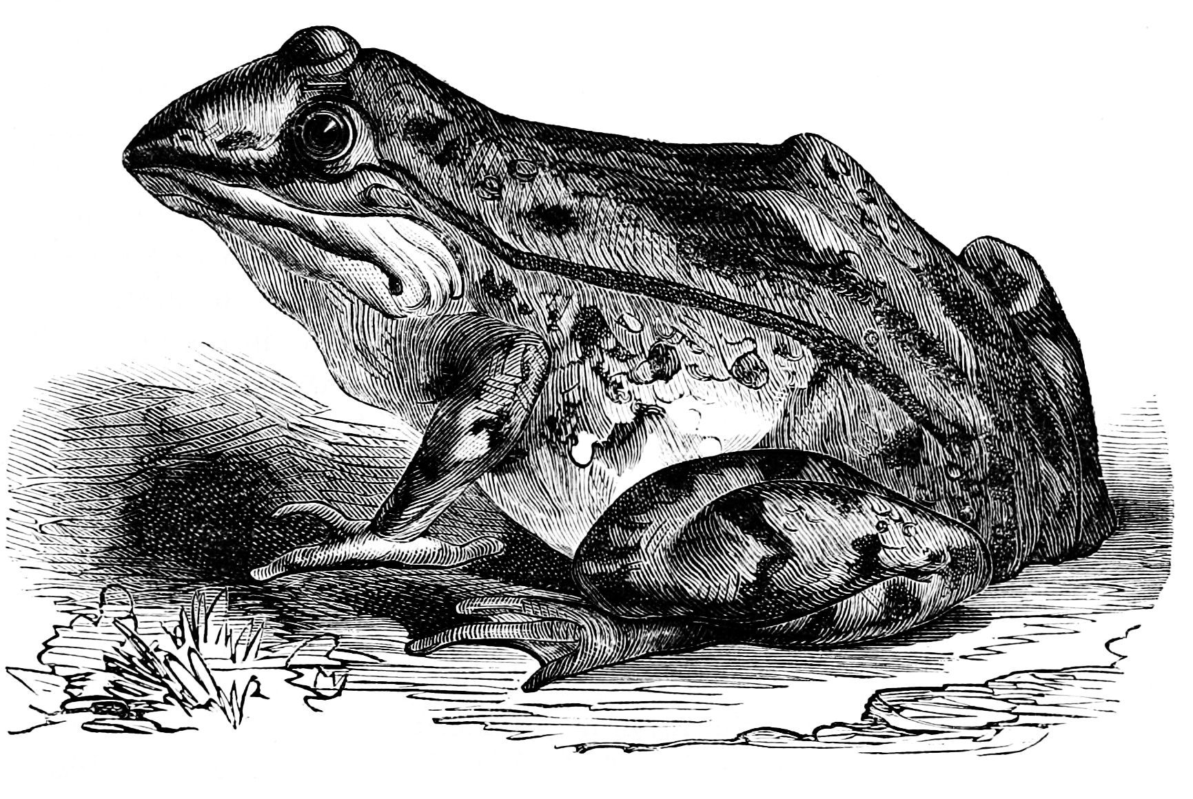 file psm v01 d359 frog without cerebrum jpg wikimedia commons