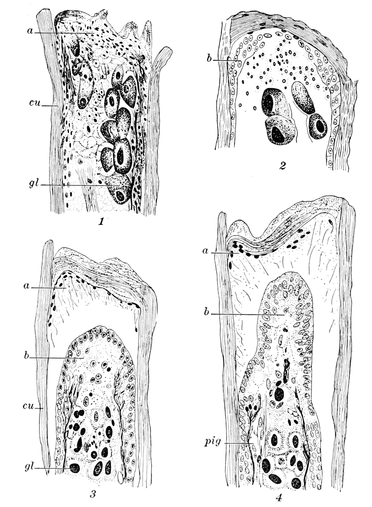 PSM V71 D476 Oniscus antenna sections during regeneration after amputation.png