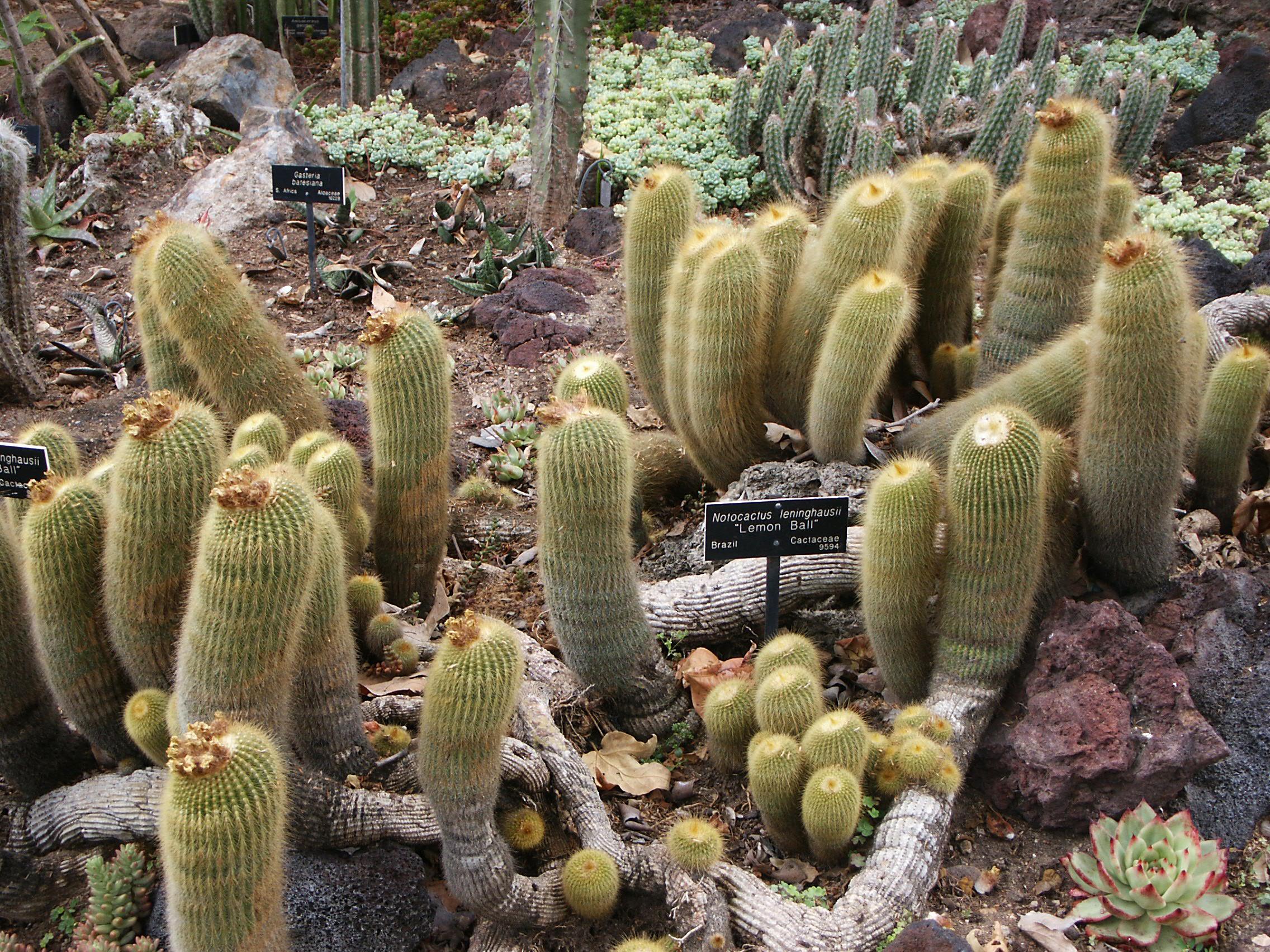 Suculentas Dr Cactus  Flores e Plantas Ornamentais