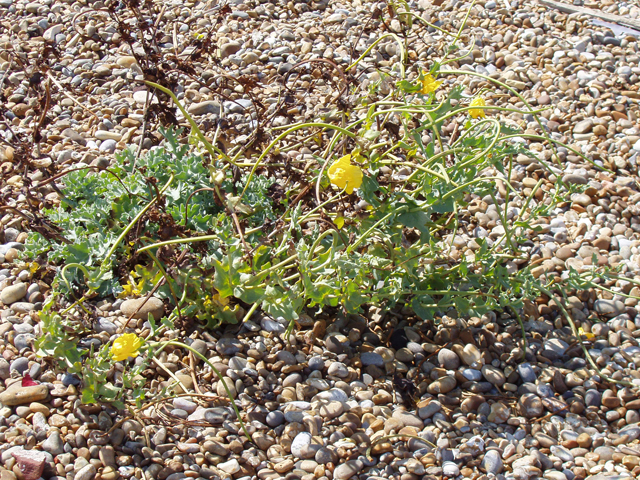 Plant on Orford Ness - geograph.org.uk - 1457122