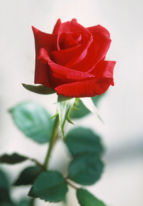 A red rose is often used as a symbol of social...