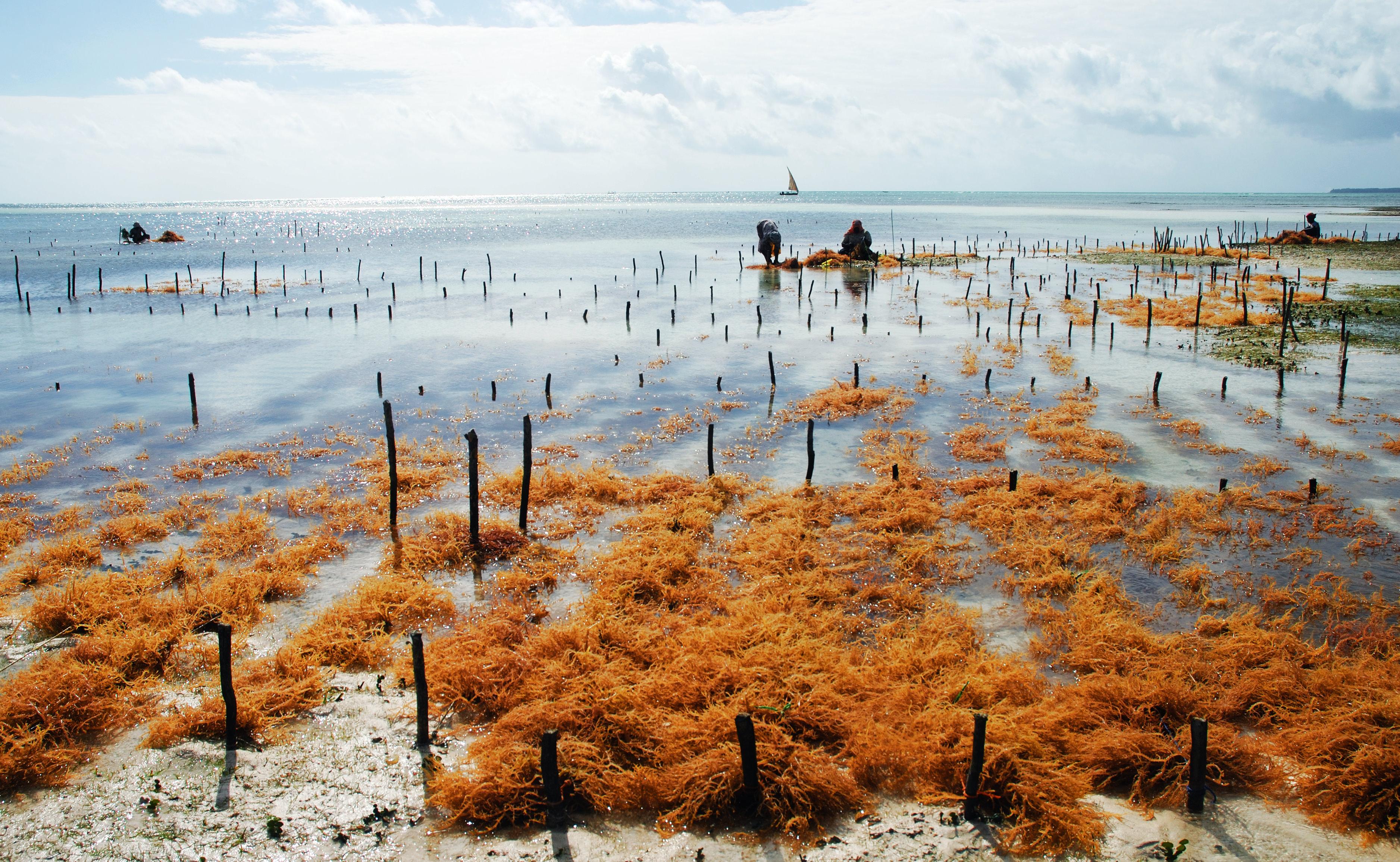 Datei Seaweed Farm Uroa Zanzibar Jpg Wikipedia