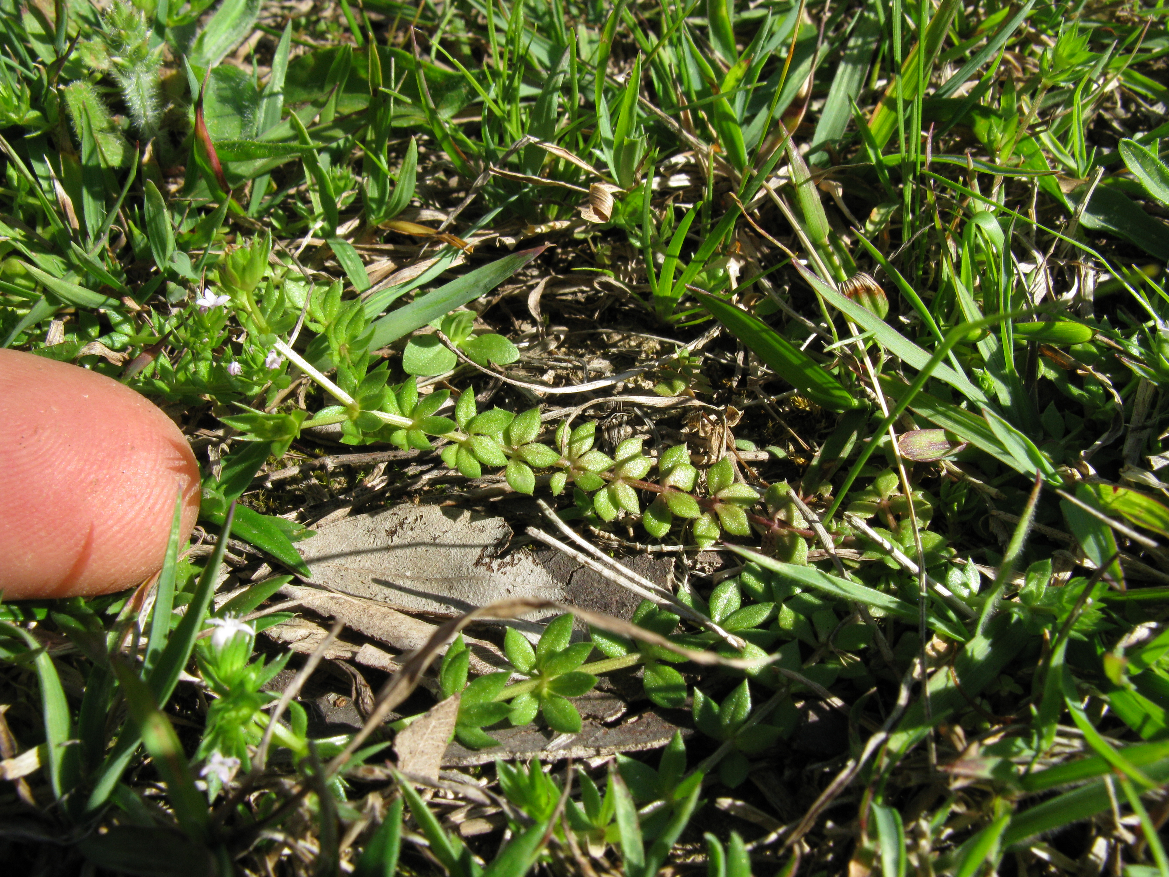 file sherardia arvensis plant1 dc flickr macleay grass man jpg