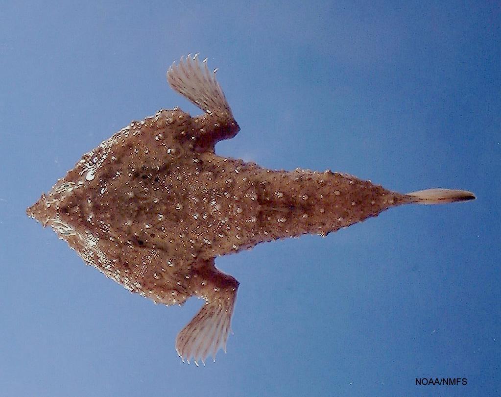 Description Slantbrow batfish (Ogcocephalus declivirostris).jpg
