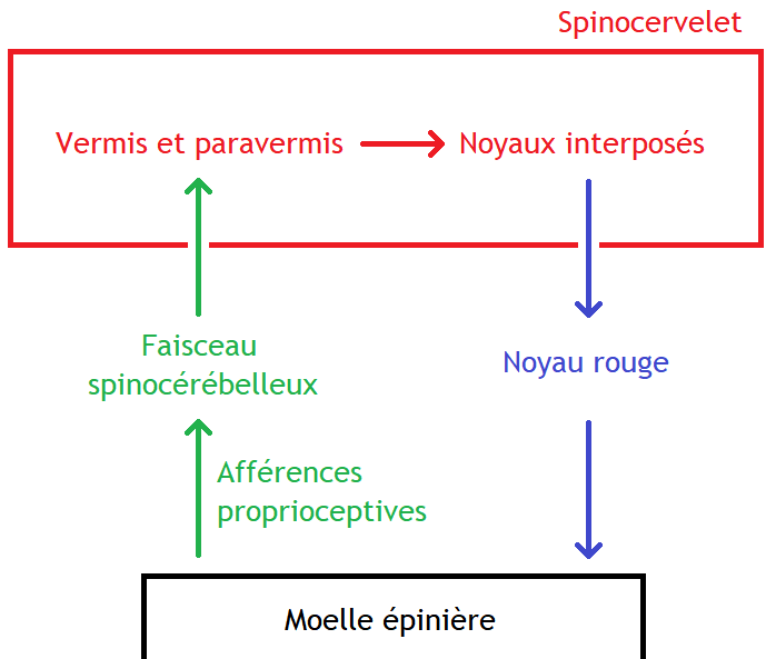 Spinocervelet.