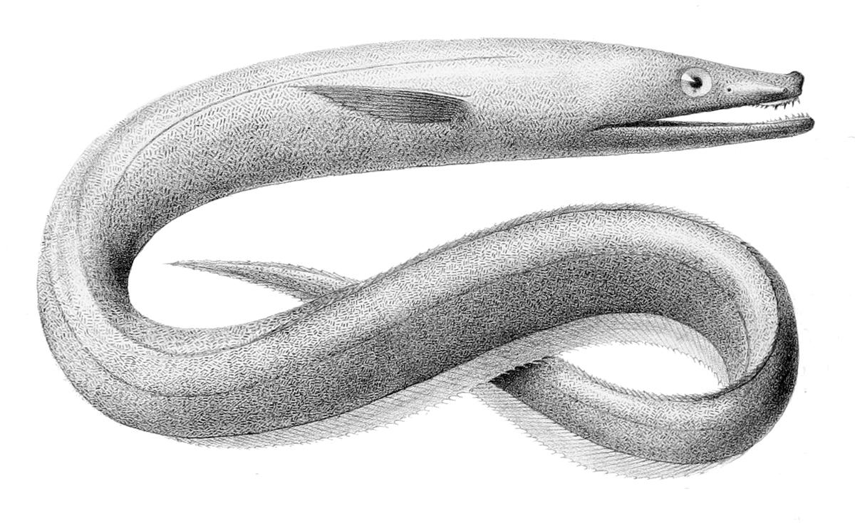 Synaphobranchus.jpg © Bideault