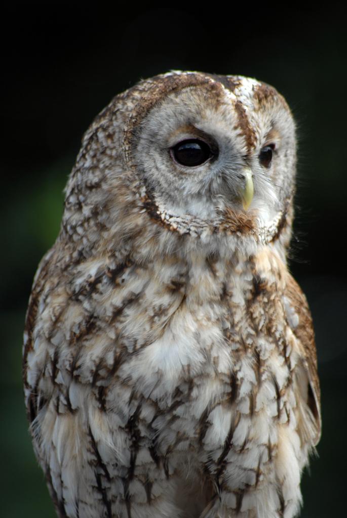 baby tawny owl