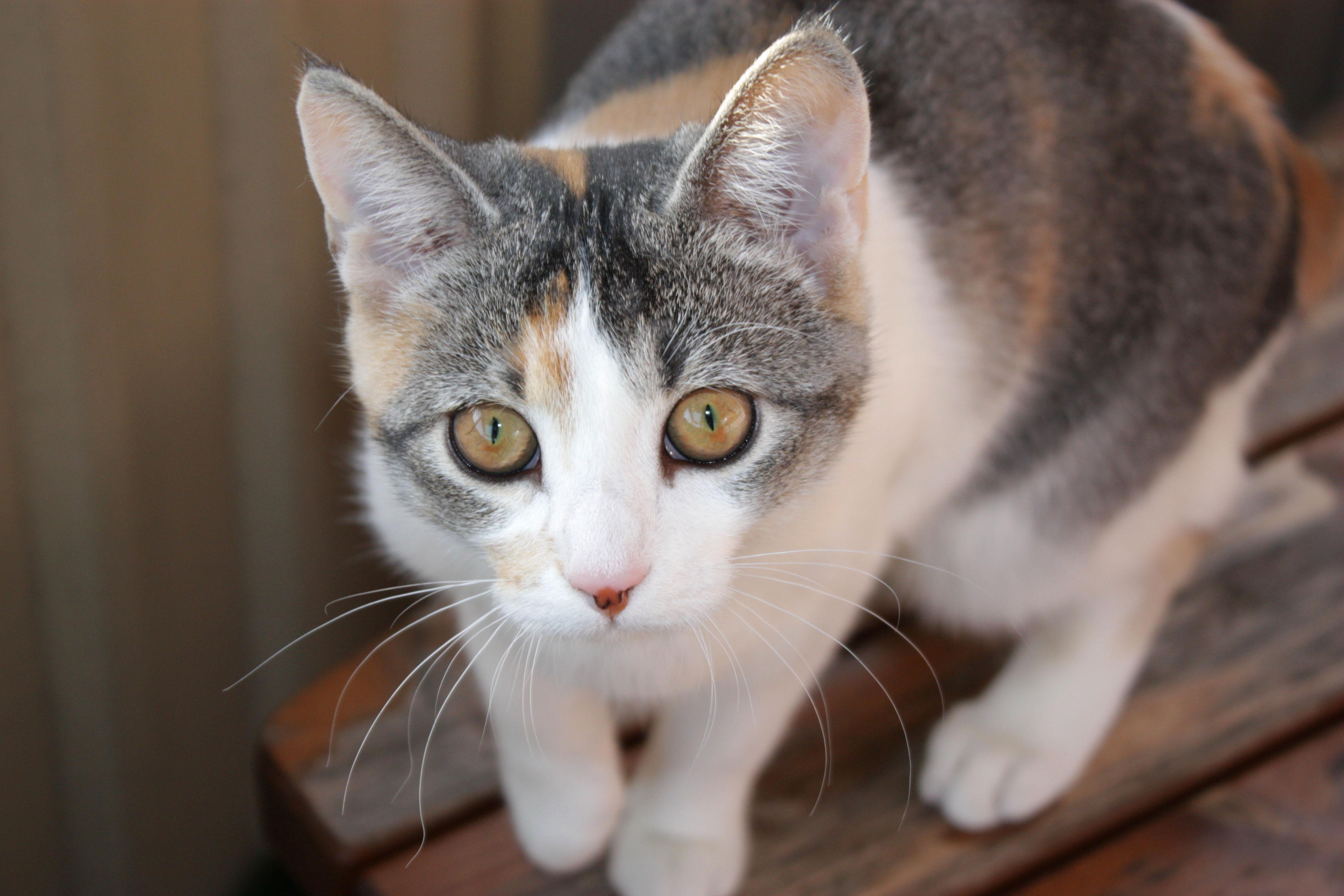 Tortoiseshell She-Cat