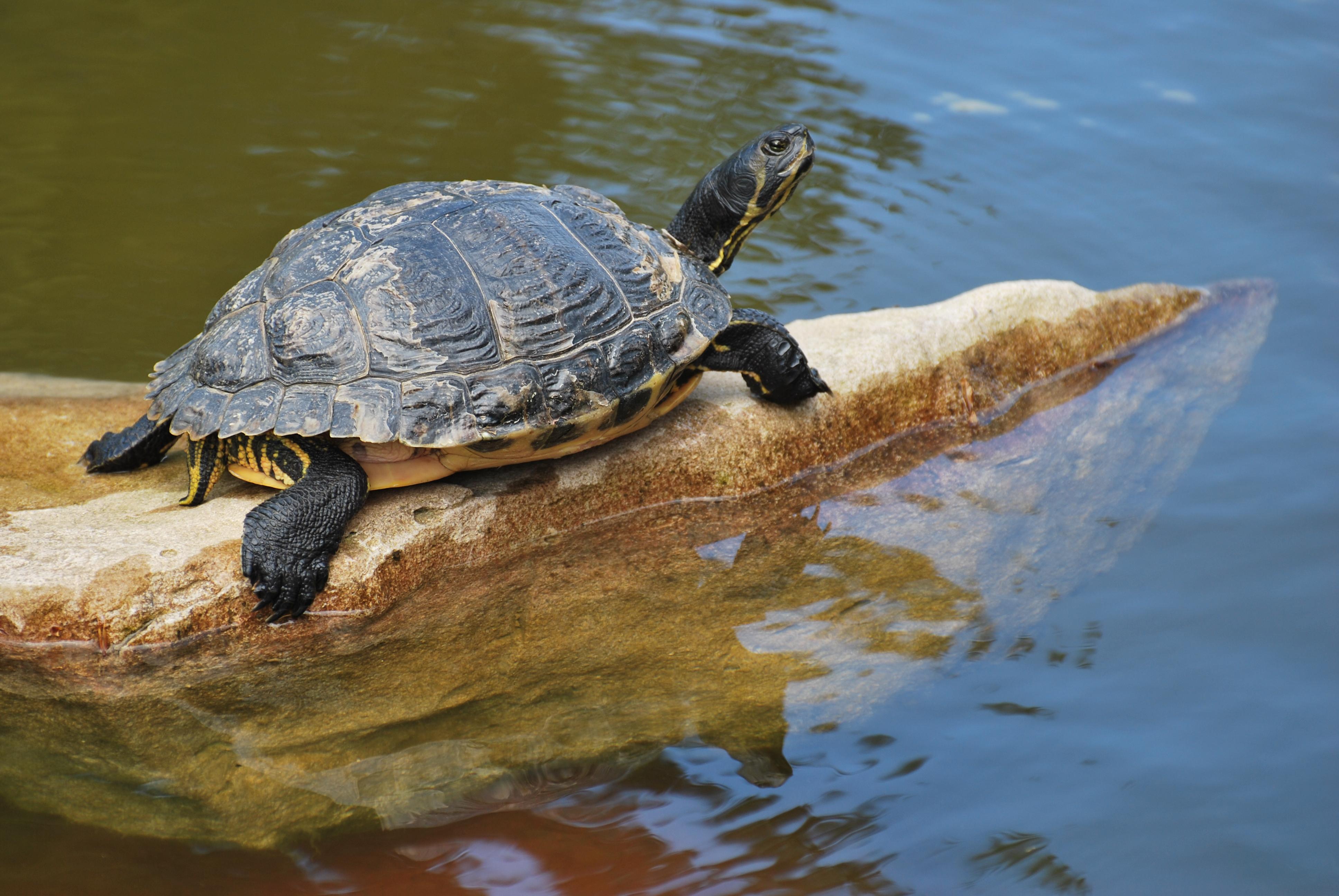 File tortue aquatique jpg wikimedia commons - Bassin pour tortue aquatique villeurbanne ...
