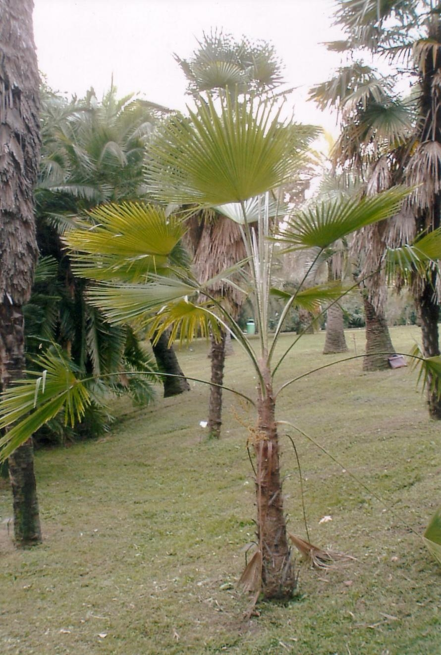 trachycarpus martianus wikipedia. Black Bedroom Furniture Sets. Home Design Ideas