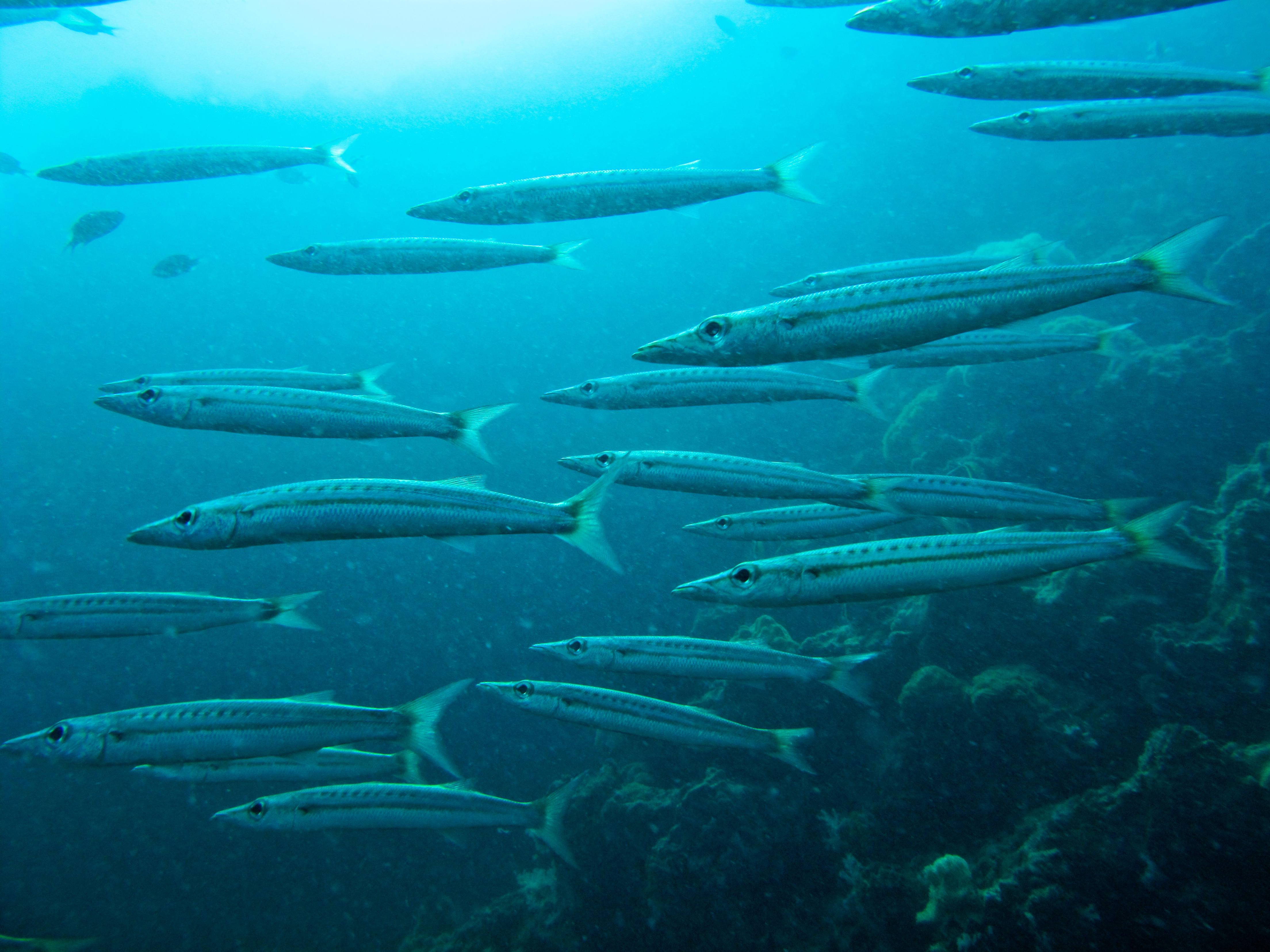 Yellowtail barracuda for Yellow tail fish