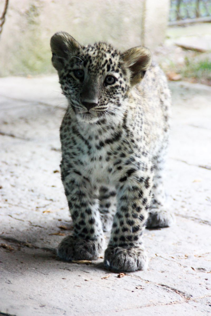 Baby white leopard - photo#8
