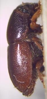 Podkôrnik dubový (lat. Scolytus intricatus)