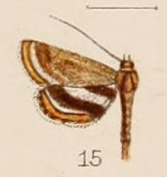 15-Oligostigma alicialis Hampson, 1908.JPG