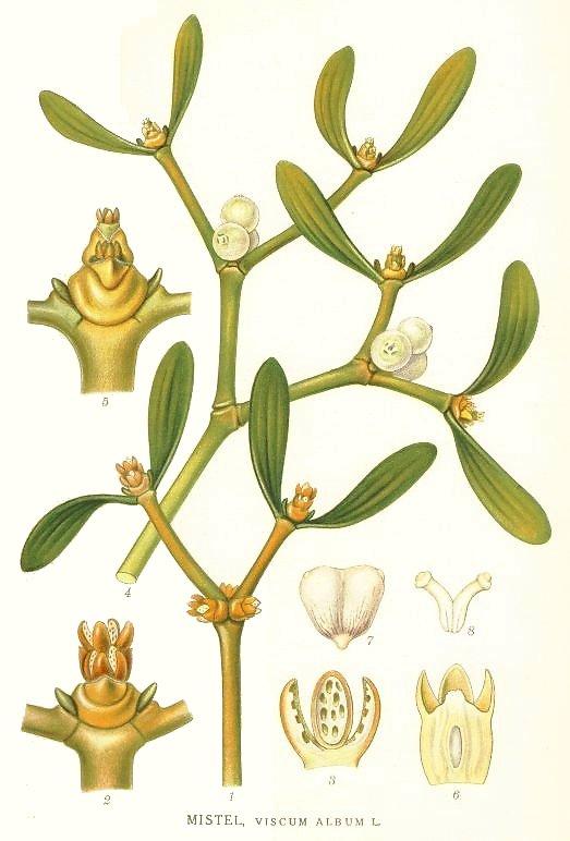 mistletoe svenska
