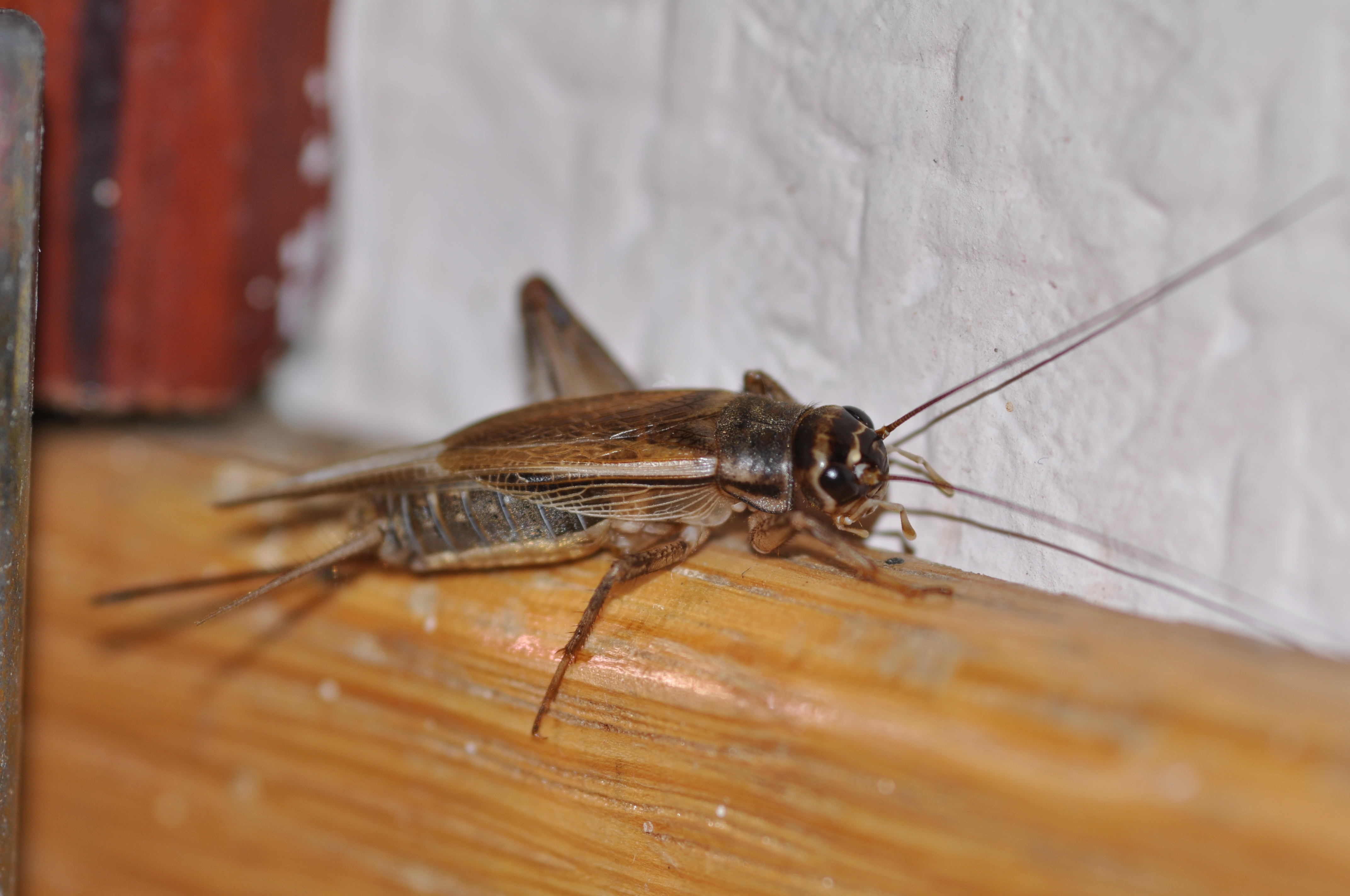 an overview of acheta domesticus aka house cricket