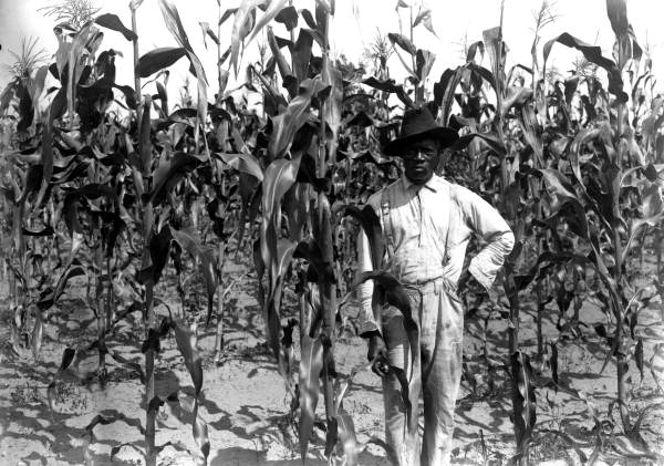 File African American Farmer In Corn Field Alachua County
