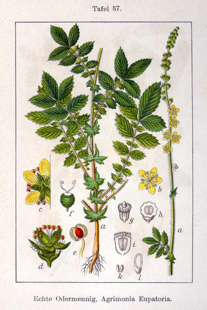 DateiAgrimonia eupatoria Sturm20.jpg – Wikibooks, Sammlung ...