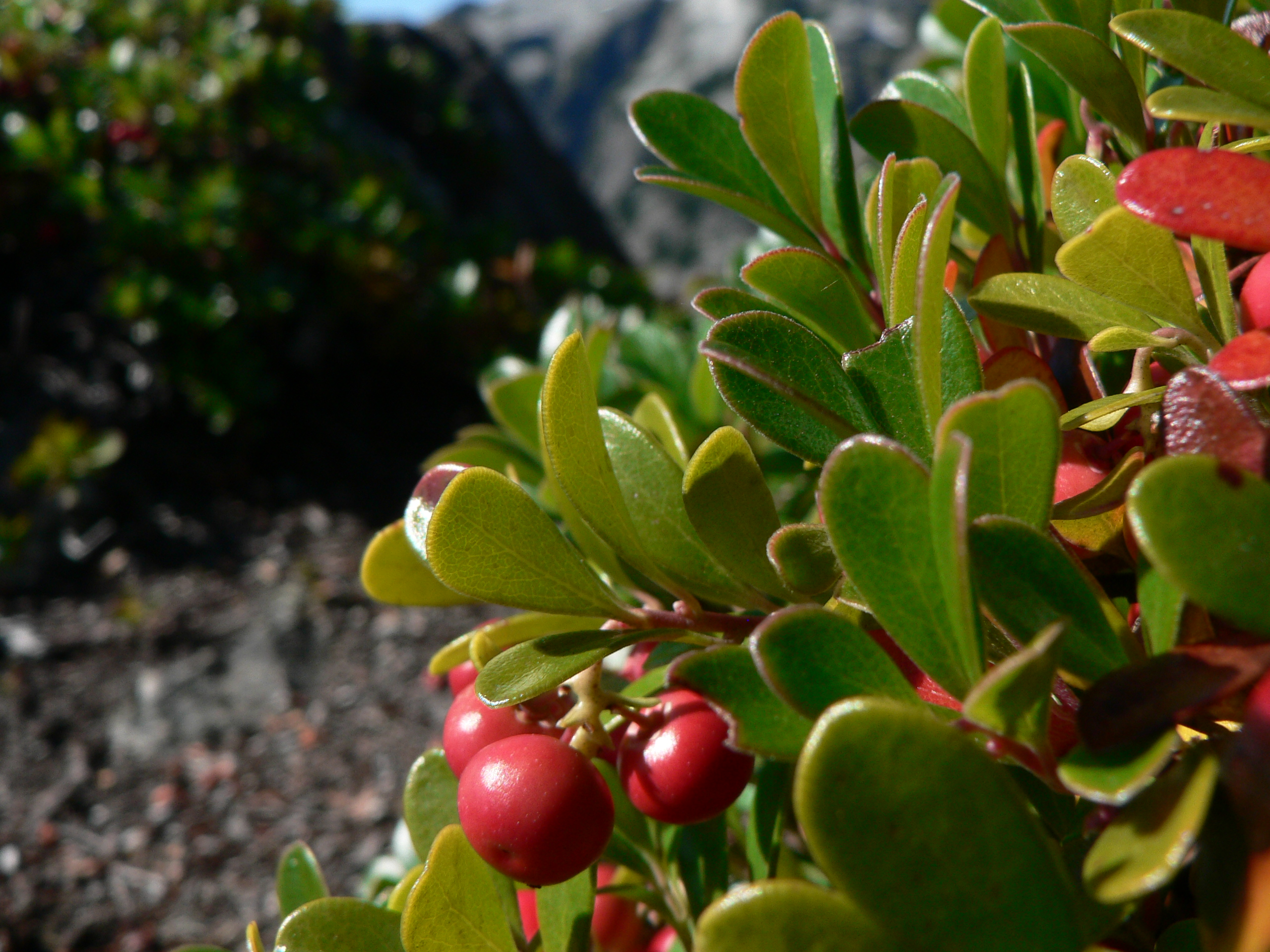 Description Arctostaphylos uva-ursi 25923.JPG