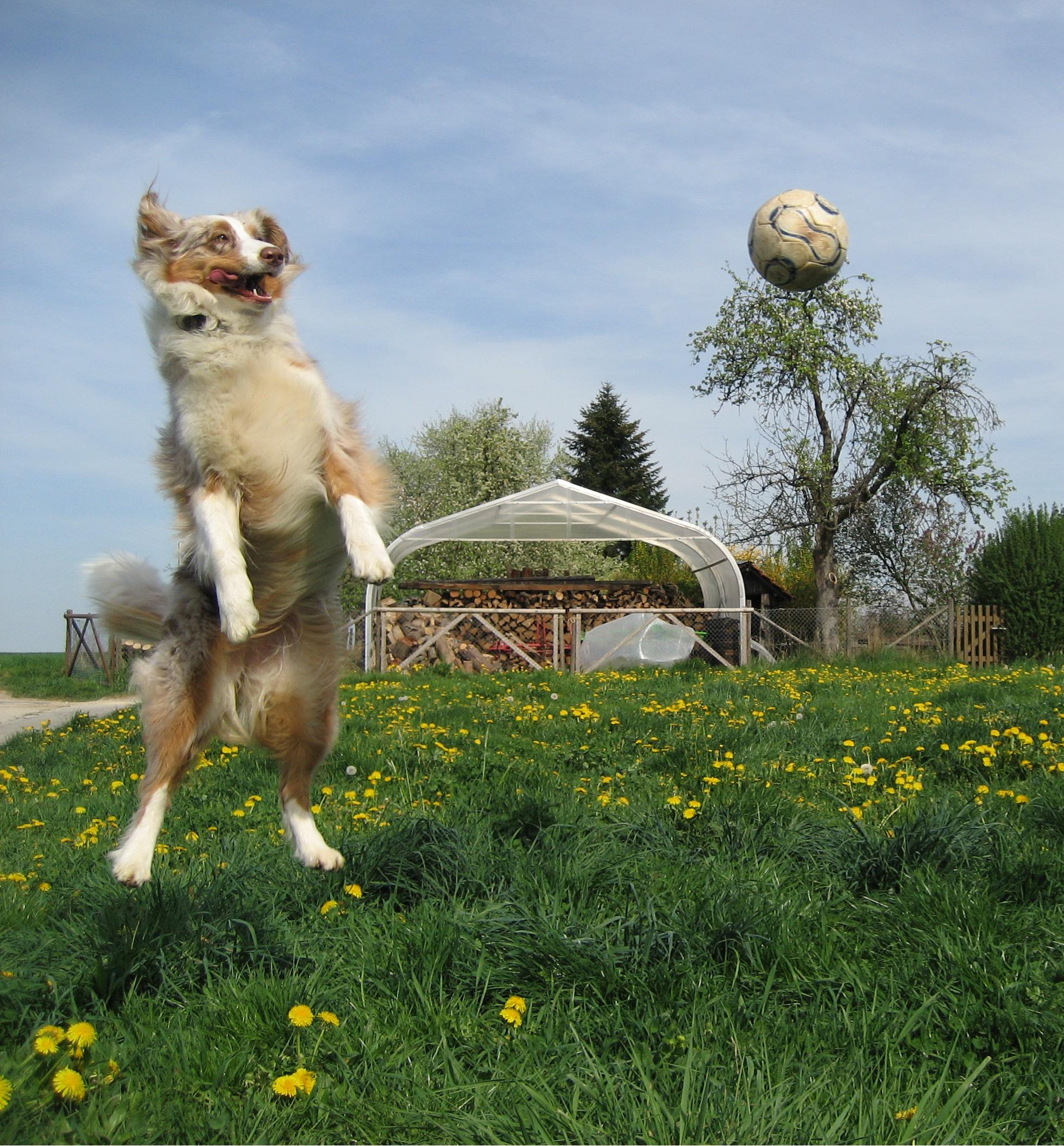 How To Keep Dog From Jumping Fence Australian Shepherd Dog Information For Owners
