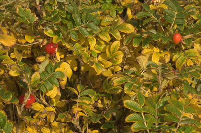 File:Autumnal colours of Rosa rugosa, Baltasound - geograph.org.uk - 1538048.jpg