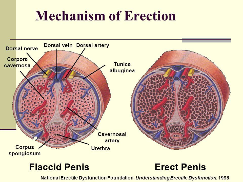 Fájl:Az erekció mechanizmusa.jpg – Wikipédia