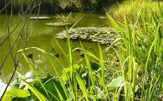 File:BGM grosser Teich Lotos.jpg