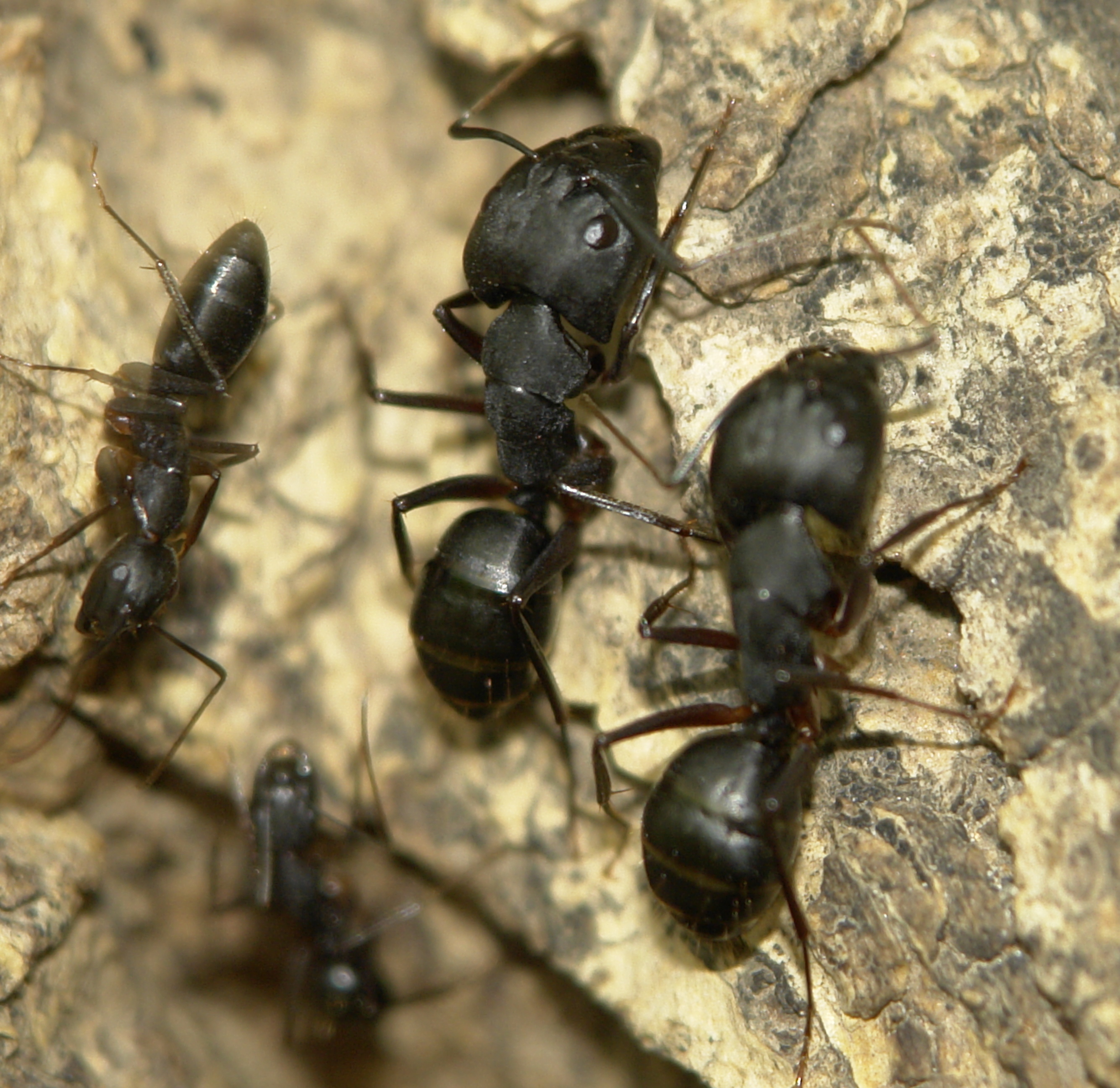 Big Black Ants In Kitchen Cabinets