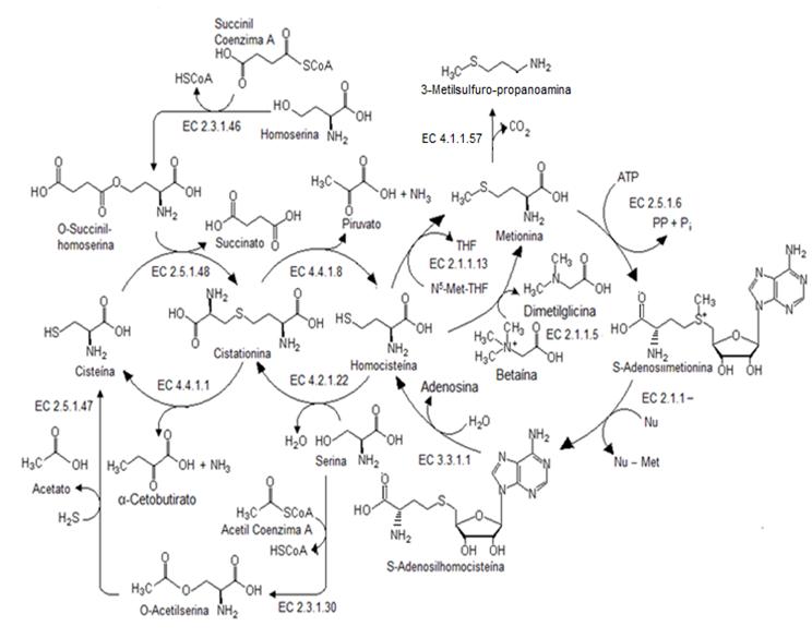 File:Biosíntesis y metabolismo de la metionina.png - Wikimed
