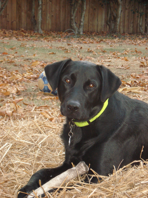 Black Black Labrador Cross Dalmatian Lexi Dogs Trust