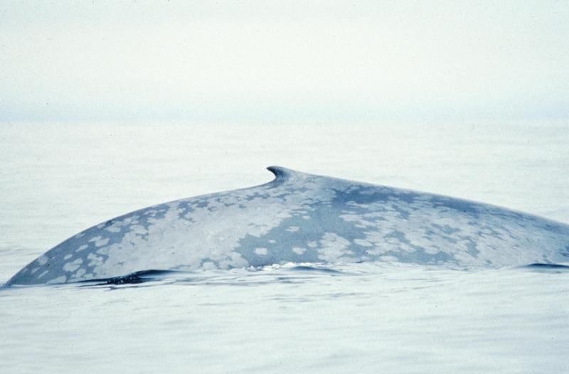 File:Blue Whale 004 noaa dorsal.jpg