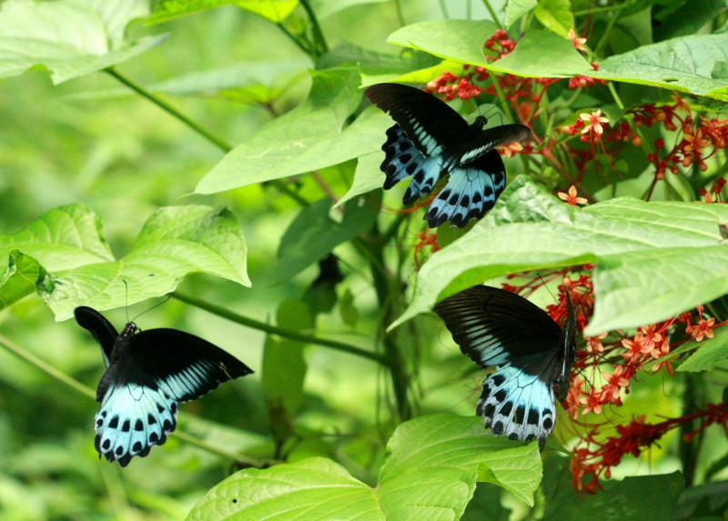 File:Blue mormon trio (2762503997).jpg