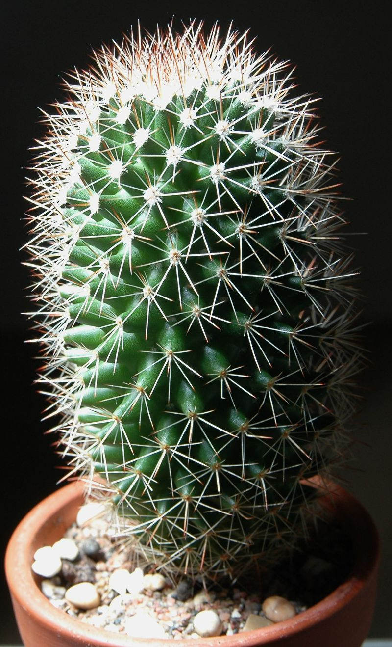 Mammillaria Backebergiana