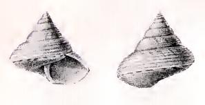 <i>Calliostoma perfragile</i> Species of gastropod