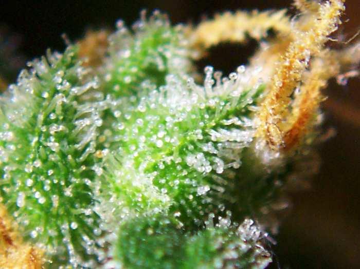 File:Cannabis female flowers close-up.jpg