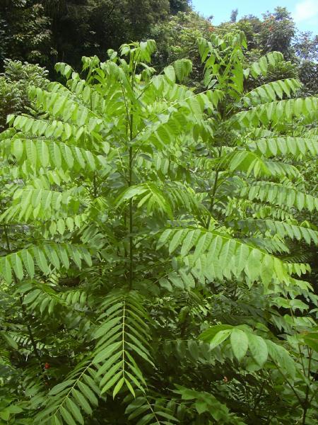 ファイル:Cedrela odorata foliage.jpg