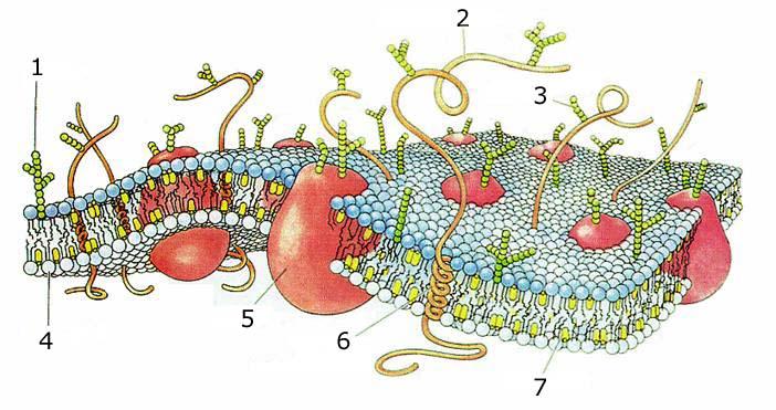 En del av ett cellmembran med proteiner instuckna i membranet.