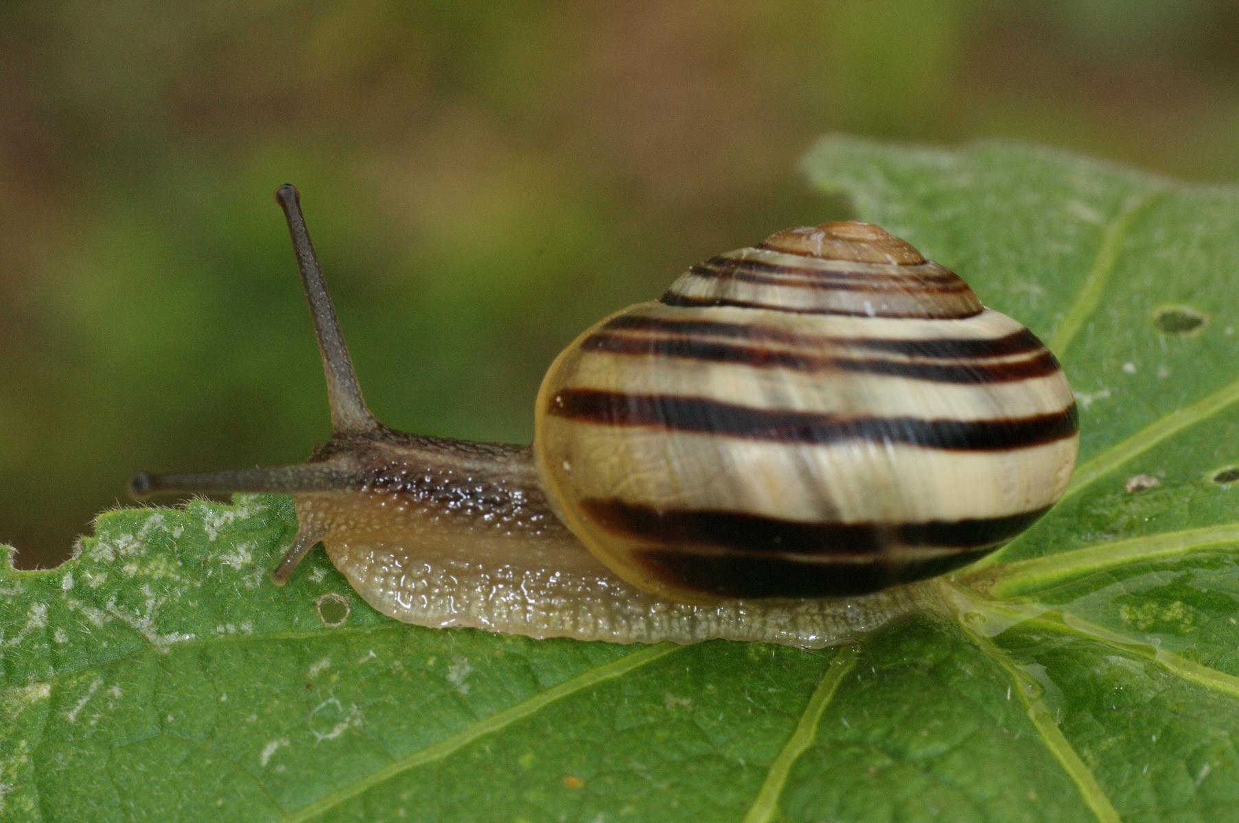 File:Cepaea hortensis 01 THWZ.jpg - Wikimedia Commons