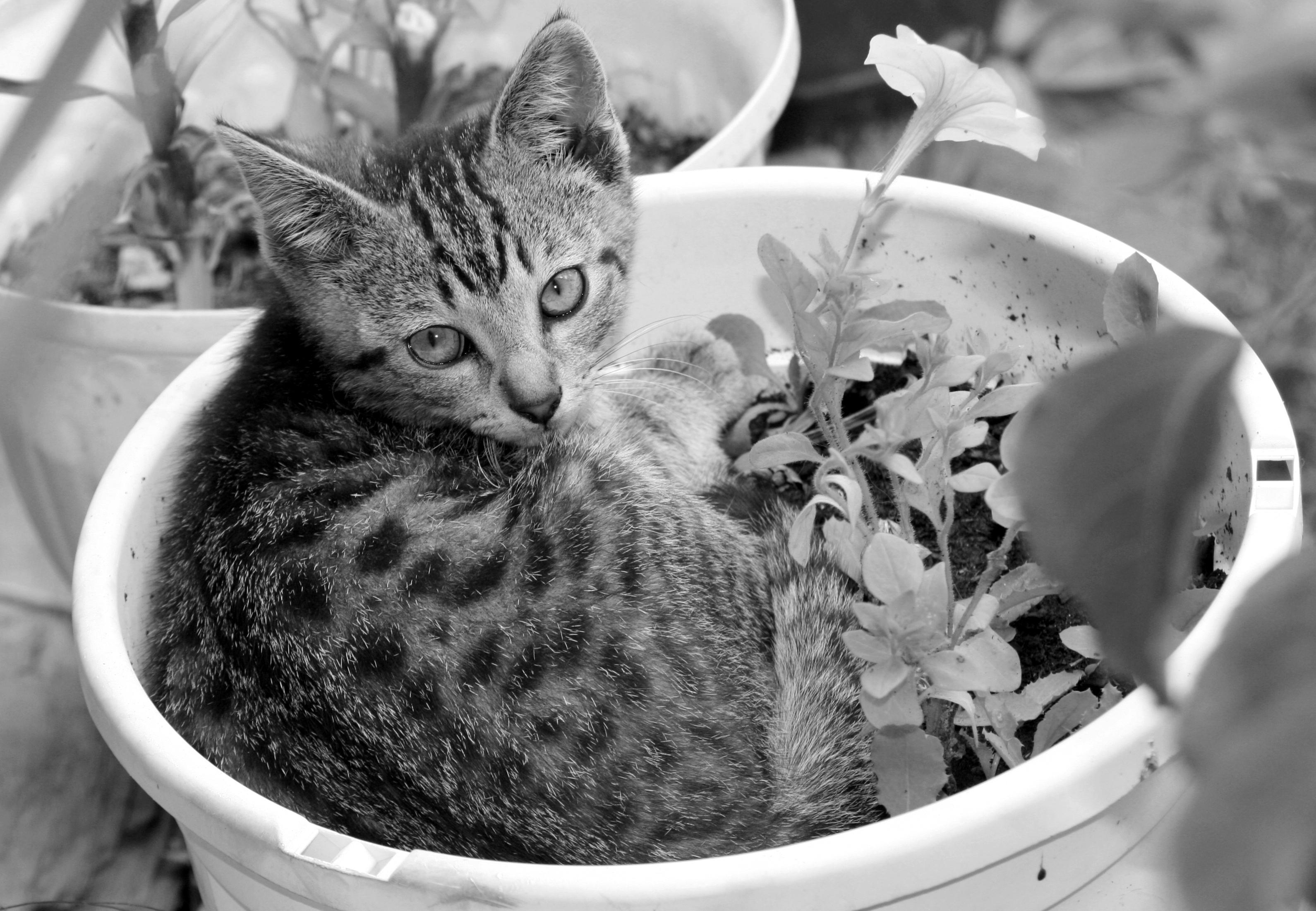 file chaton dans pot de fleur 6914881810 jpg wikimedia. Black Bedroom Furniture Sets. Home Design Ideas