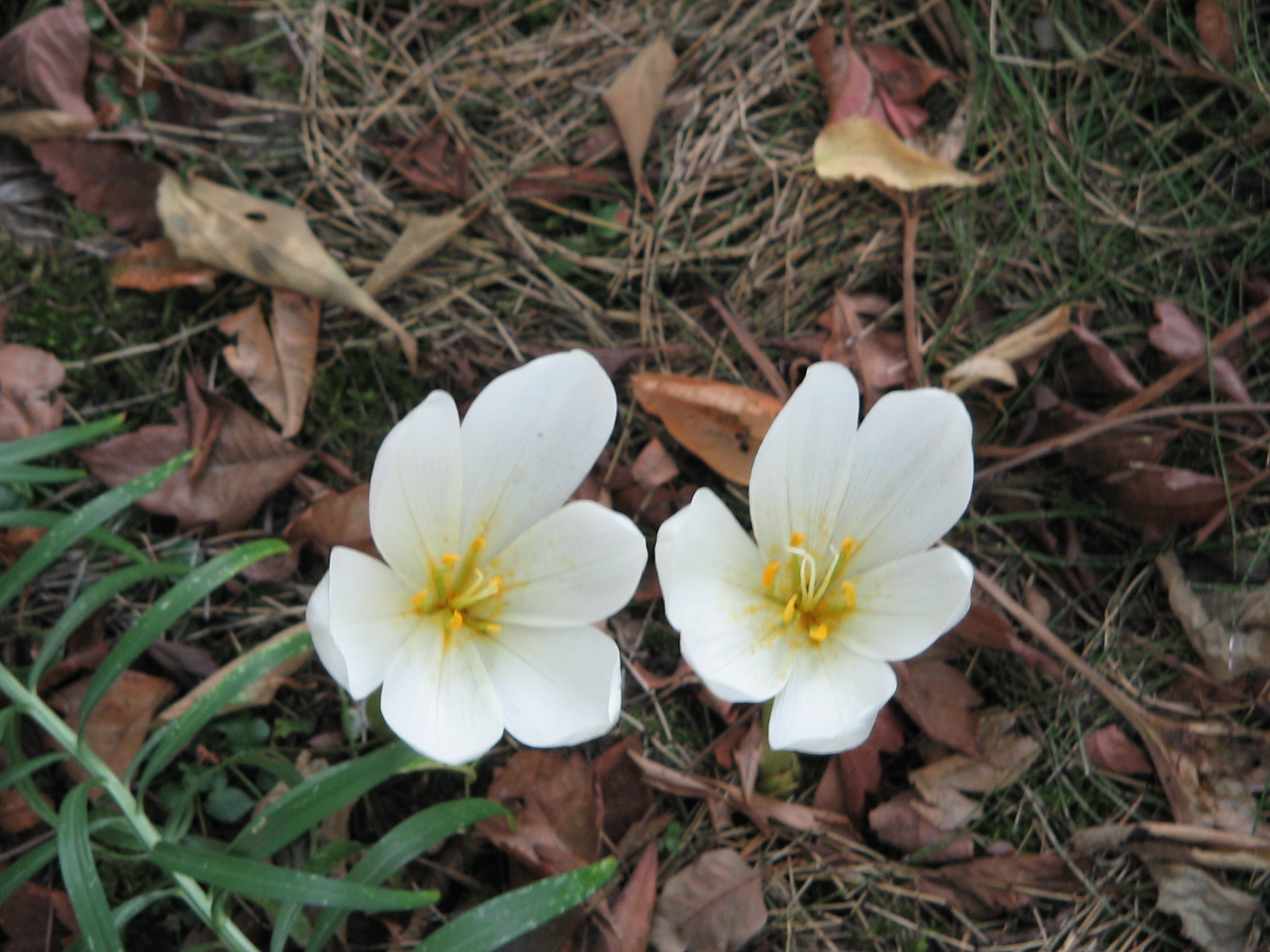 morphological characters of colchicum l species The genus colchicum has a large number of species (ca100) that are widely scattered throughout the different region of anatolia and the region is considered as a major center of diversity and.