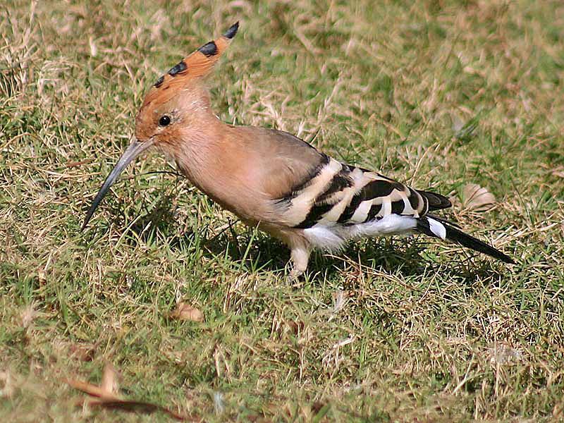 طائر الهدهد وذكره في القران Common_Hoopoe_(Upapa_epops)_at_Hodal_I_IMG_9016.jpg