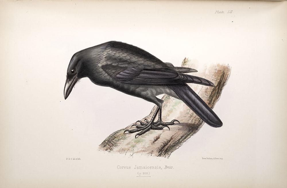 Corvus jamaicensis.jpg © Commons