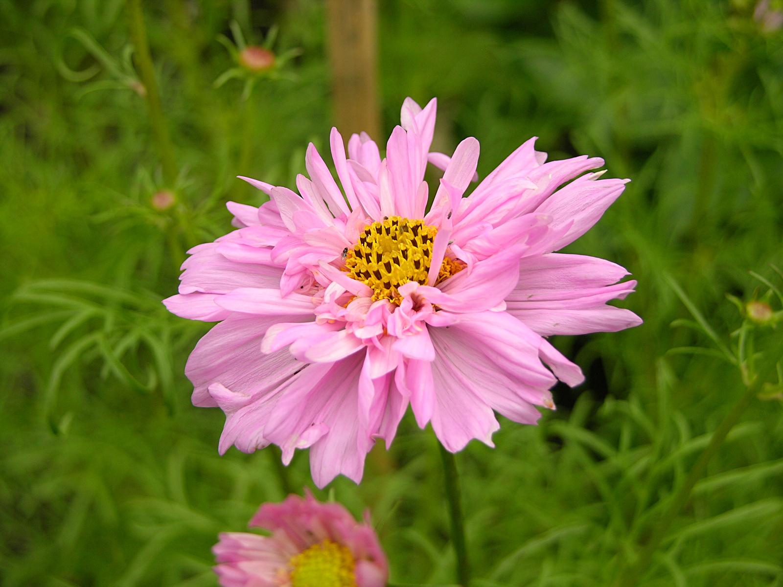 File Cosmos bipinnatus Double Flower 1600px